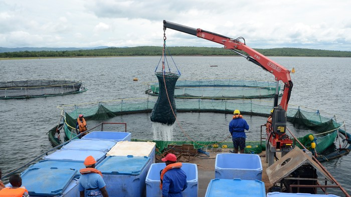 Harvesting cage of 60 tons of tilapia
