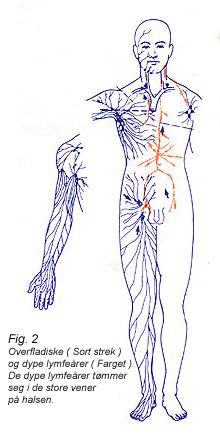 Fig. 2 Overfladiske ( Sort strek ) og dype lymfeårer ( Farget ). De dype lymfeårer tømmer seg i de store vener på halsen.