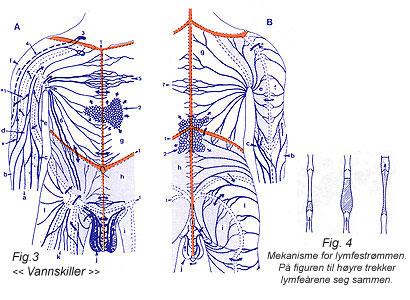 Fig. 3 << Vannskiller >> Fig. 4 Mekanisme for lymfestrømmen. På figuren til høyre trekker lymfeårene seg sammen.