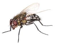 Loftsflue (Pollenia rudis)