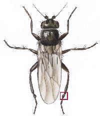 Springfluer (Familie Sphaeroceridae)