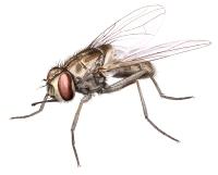Vanlig stikkflue (Stomoxys calcitrans)