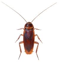 Amerikansk kakerlakk (Periplaneta americana)