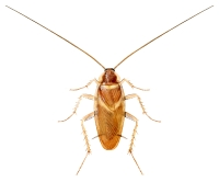 Brunbeltet kakerlakk (Supella longipalpa)