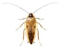 Markkakerlakk (Ectobius lapponicus)