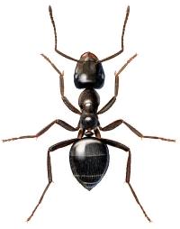 Svart jordmaur (Lasius niger)