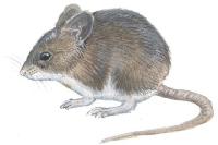 Liten skogmus (Apodemus sylvaticus)