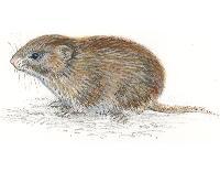 Rødmus (Clethrionomys rutilus)