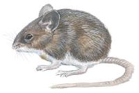 Stor skogmus (Apodemus flavicollis)
