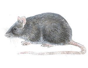 Svartrotte (Rattus rattus)