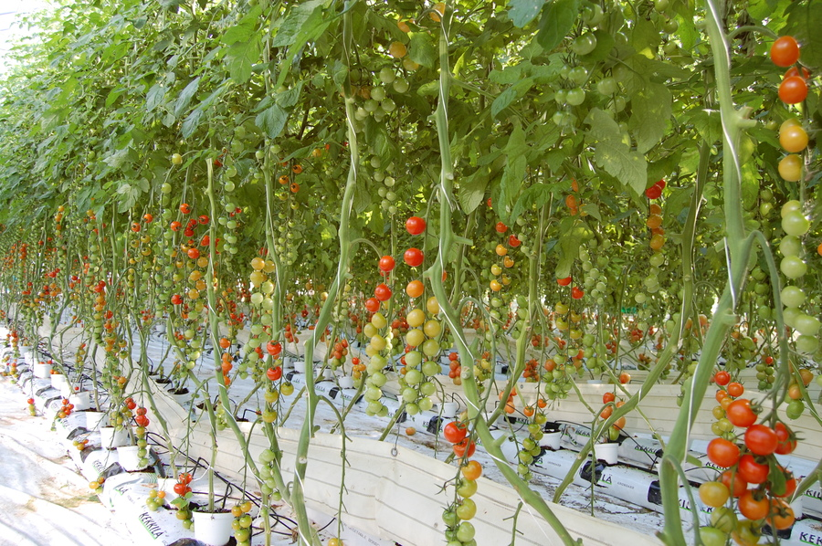 Tomater i veksthus