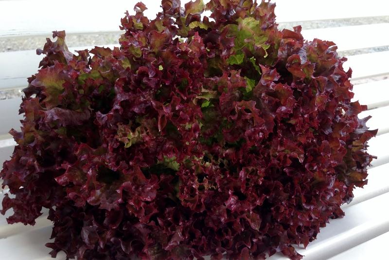 Salater/Lollo_Rosso.jpg