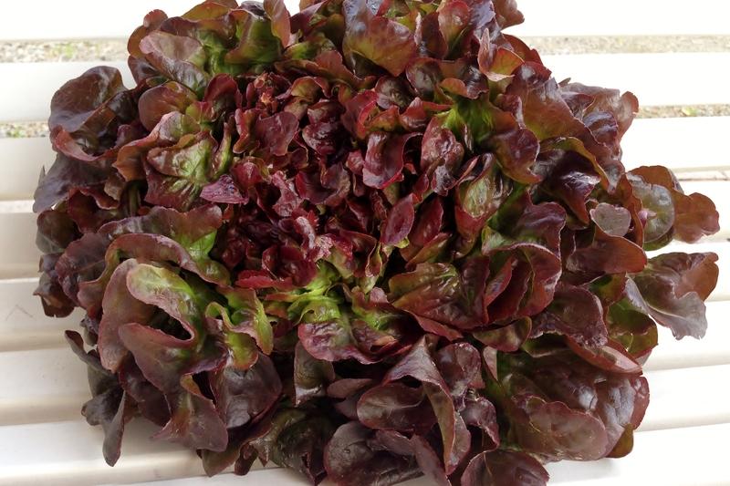 Salater/R__d_ekeblad.jpg