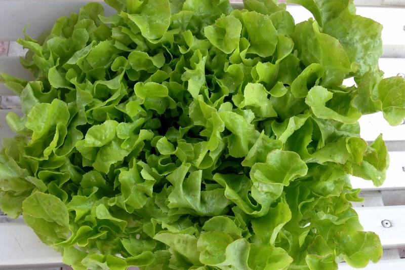 Salater/Gr__nn_ekeblad.jpg
