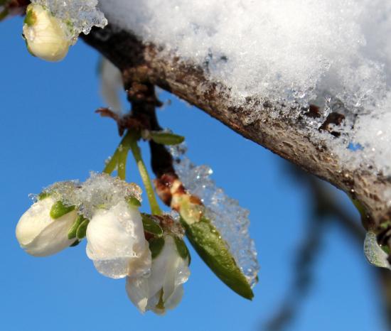 Snø smelter på en gren
