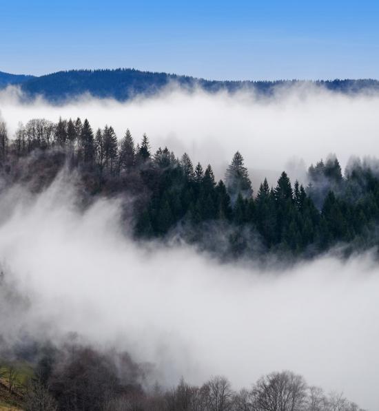 En skog dekket av tåke